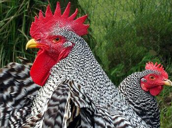 Українська птиця і яйця поїдуть в ЄС