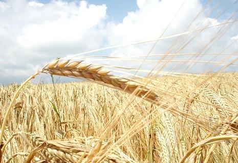 Україна б'є рекорди за врожайністю ранніх зернових культур