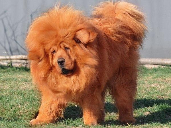 Найдорожчий собака у світі коштує  $1,5 млн. (ФОТО)