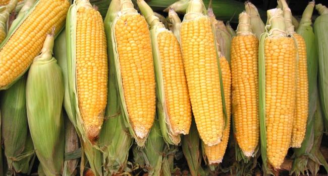 2428_1471607581_corn-1323603.jpg (127.24 Kb)